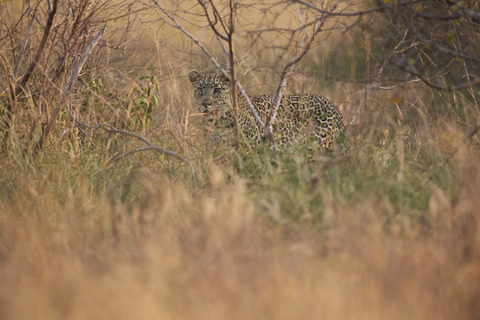 Leopard (Panthera pardus) in heavy brush, Kruger National Park