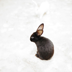 Black rabbit with long ears