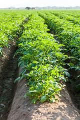 Potato farmland