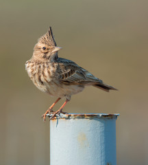 Crested lark perched on a metal fence