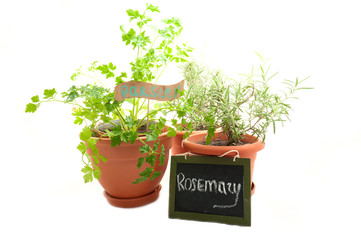 rosemary and parsley growing in pots isolated on white