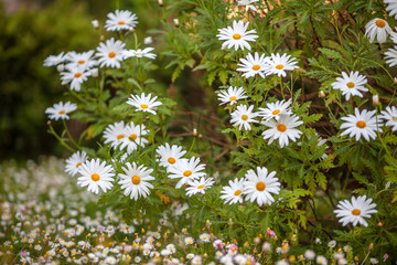 Camomile flowers bed