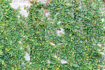 Green Creeper Plant on the Wall