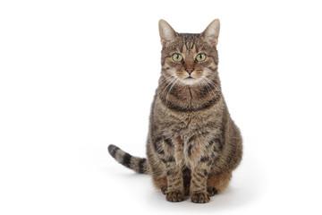 chat tigré européen assis