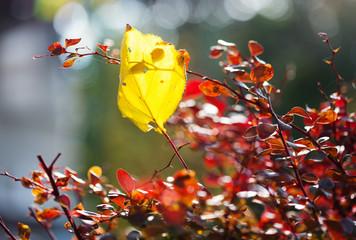 Wall Mural - Barberry bush in autumn season, shallow focus