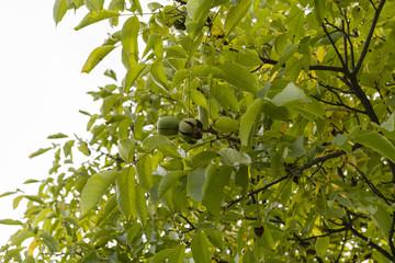 opening shell walnut tree