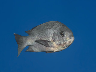 Black snapper fish in water of tropical sea (Macolor niger),  In