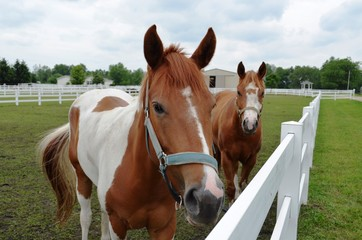 Two friendly horses in the corral and looking for a treat