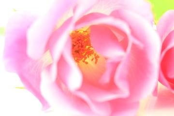 pink rose flower petals closeup in white background