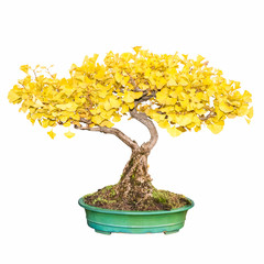 bonsai tree of ginkgo