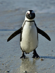 African penguin (spheniscus demersus) at the Boulders colony. South Africa