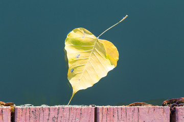 Yellow bodhi leaf floating in water