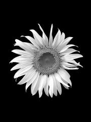 sunflower on black background,black & whithe