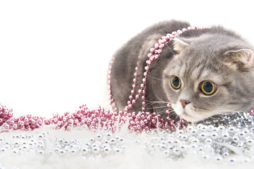 Wall Mural - Scottish Fold cat breed with Christmas decorations..