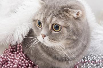 Wall Mural - Scottish Fold cat breed close-up..