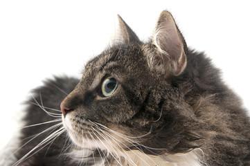Portrait of a cat close-up in profile..