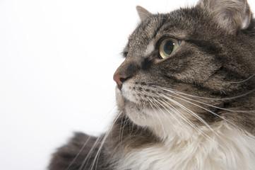 Wall Mural - Portrait of a cat closeup..