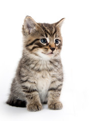 Cute tabby kitten crying on white