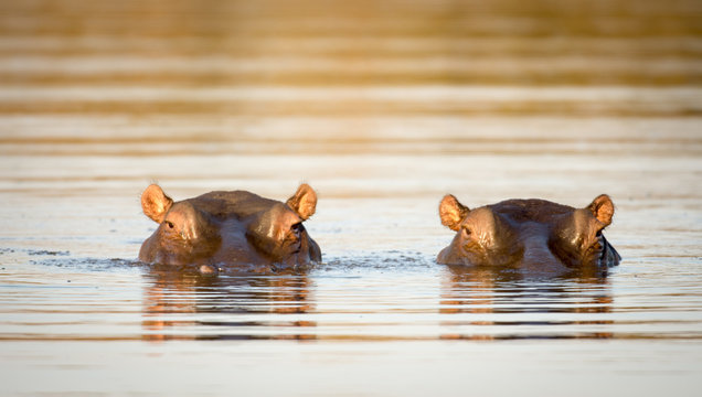 Two hippos in the water