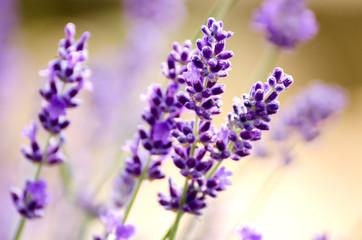 Spoed Fotobehang Lavendel Lavande, Fleur, Champ