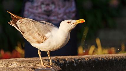 European herring gull drinking water/