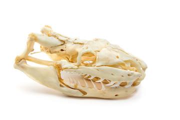 Snake skull on white background