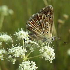Бабочка голубянка на зонтичном растении