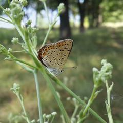 Бабочка голубянка сидит на растении на фоне дубовой рощи
