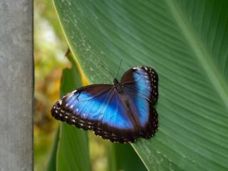 Blue morpho butterfly. Morpho peleides.