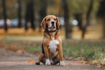 Dog Beagle walking in autumn park