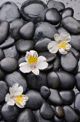 Three orchid on black stones
