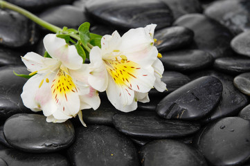 Lying on white orchid on wet black stones