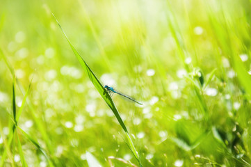 Blue dragonfly on the green grass