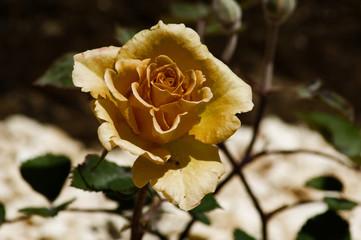 Fiore di rosa gialla con effetto retro