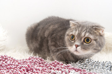 Wall Mural - Scottish Fold cat breed with Christmas garlands on a fluffy rug.