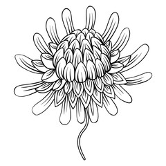 Coloring page with Etlingera flowers, Torch Ginger, Philippine W