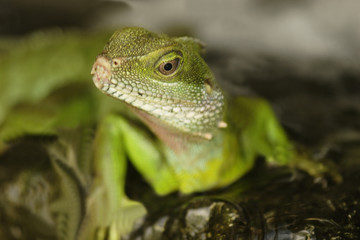 Green Water Dragon (Physignathus cocincinus)