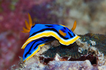 Yellow, blue, white, purple and black nudibranch. Underwater pho