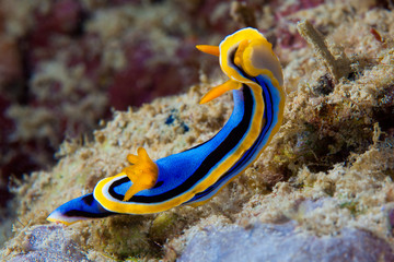 Yellow, blue, white, purple and black nudibranch. Underwater pho