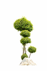 bonsai tree in garden isolated on white