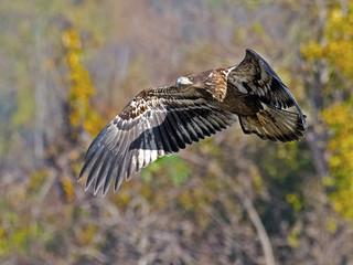 Juvenile American Bald Eagle in Flight