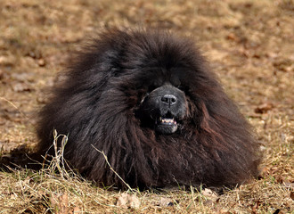 black Chow Chow dog outside