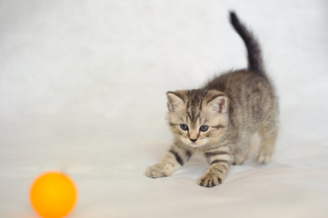 Kitten playing with a yellow ball, a small kitten brindle coat color, striped baby British tabby kitten, pet cute kitten, family friend.
