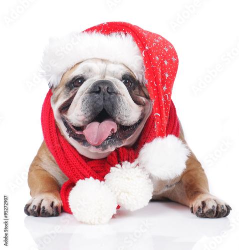 englische bulldogge mit weihnachtsm tze und schal. Black Bedroom Furniture Sets. Home Design Ideas