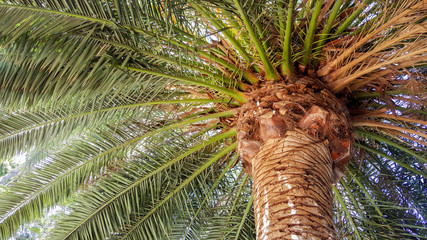 Mighty Crown of Guadalupe Island Palm