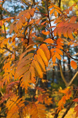 tree with yellow autumn leaves closeup