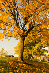 Beautiful and bright,  maple tree with orange leaves in Autumn