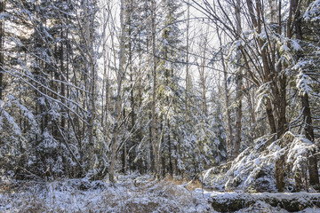 Frosty morning in the forest. Far Eastern taiga, in November, the first snow, frosty morning.