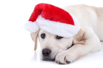 Christmas Pet Labrador Dog. Xmas Animal In Santa Hat