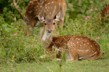 Resting Spotted Deer